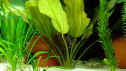 Pflanzen im Aquarium Schaubecken im Wohnzimmer