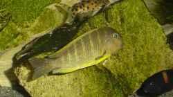Tropheus brichardi Ujiji und Synodontis petricola