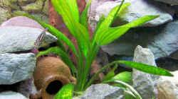 Pflanzen im Aquarium Becken 8404