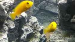 Labidochromis caeruleus -Pärchen