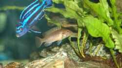 Melanochromis cyaneorhabdos Männchen und Pseudotropheus sp. Polit Weibchen