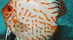 Besatz im Aquarium Diskusdream