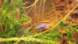 Besatz im Aquarium Kamerun Flußufer (Nur noch Beispiel)