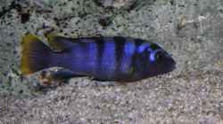 Labidochromis Red Top Mbamba Bay Weibchen