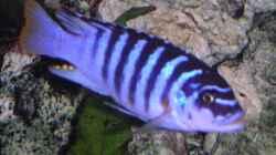 Maylandia zebra chilumba luwino reef Männchen