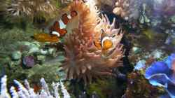 Amphiprion ocellaris - Falscher Clown - Anemonenfisch - mit Laich