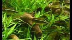 Besatz im Aquarium Mein Großes