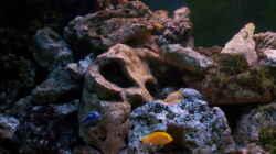 Dekoration im Aquarium 400L Malawi