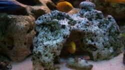 Besatz im Aquarium 400L Malawi