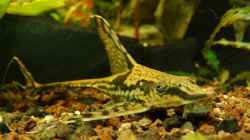 Besatz im Aquarium Prachtschmerlen Gesellschaft