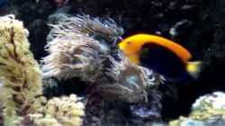 Centropyge acanthops - Orangeruecken-Zwergkaiserfisch