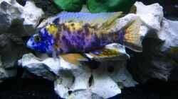 Aulonocara sp. Marmelade Cat