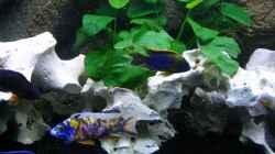 Pflanzen im Aquarium Walhall
