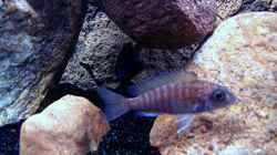 Besatz im Aquarium Gladsheim