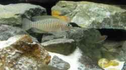 Besatz im Aquarium 375l Tanganjika (Existiert nicht mehr!)