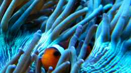 aquarium-von-malawigo-sunshine-coast_Amphiprion ocellaris