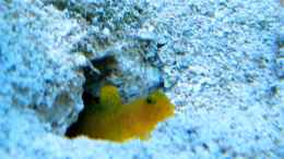 aquarium-von-malawigo-sunshine-coast_Cryptocentrus cinctus