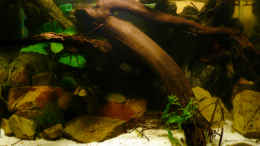 aquarium-von-cichlid-power-m--r--a--sp-r-f-_