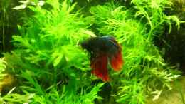 aquarium-von-launebaer-betta-splendens_Billy