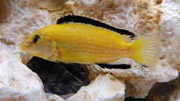 aquarium-von-african-lake-mbuna-1_Lab. Caeruleus Yellow / M