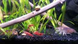 aquarium-von-newbie-newbies-waterworld_Gabun Fächergarnele (Atya gabonensis)