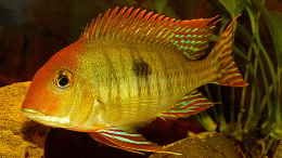 aquarium-von-helmut-kreutmayer-geophagus--was-sonst_Geophagus Red Head F1