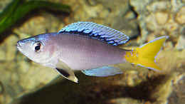 aquarium-von-dirk-lehmann-becken-2_Cyprichromis leptosoma Blue Flash