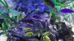 aquarium-von-mbuna-mick-mbuna-bay-of-darkness_