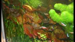 aquarium-von-johann-fellner-becken-2168_Tigerlotus (zenkeri)
