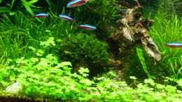 aquarium-von-volkmar1-rio-world_/Hydrocotyle-cf-tripartita-H-sp-Japan
