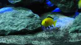 "aquarium-von-christopher-ross-malawi-seaside_Labidochrimis caeruleus ""Yellow"" Bock"