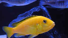 aquarium-von-flightsim-my-malawi-dream_Labidochromis yellow