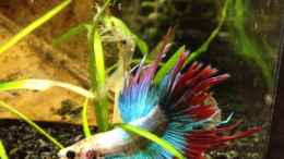 aquarium-von-jeany-betta-splendens_