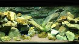 aquarium-von-green-zebra-mbuna-rocks_