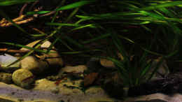 aquarium-von-malawi-guru-de-the-mountain-stream_Frontaler Blick