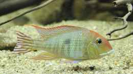 aquarium-von-thomas-s-h-suedamerikabiotop-aufgeloest_Geophagus Red head