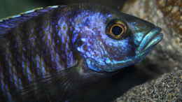 aquarium-von-swenni-aufgeloest-----the-heart-of--africa-----_Stigmatochromis Modestus eastern