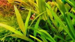 aquarium-von-aquasteve-little-green-hell_Crystal Red Garnele