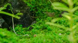 "aquarium-von-betta-chris-039-amazonas-scape039-_Garnele ""Brown Tiger spotted"" - eigene Nachzucht ? 02.09.15"