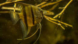 aquarium-von-timo-on-keys-guyanarium_Pterophyllum scalare