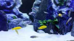 aquarium-von-chrille1904-becken-32640_Mbuna - mix