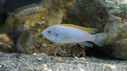 Aquarium einrichten mit Labeotropheus Fuelleborni Chipoka - Male