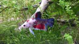 aquarium-von-stephy-bettas-home-2_Moritz