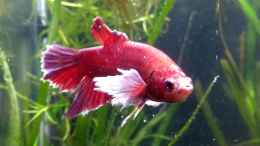 aquarium-von-stephy-bettas-home-5_Fridolin
