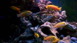 aquarium-von-niko-p--400l-malawi_yellows