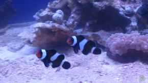 Aquarien mit Amphiprion ocellaris black (Clown-Anemonenfisch)