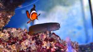 Aquarien mit Amphiprion percula (Trauerband-Anemonenfisch)