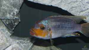 "Aquarien mit Petrotilapia sp. ""yellow chin"""