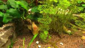 Aquarien mit Ancistrus sp. ´Gold´ (Goldantennenwels)