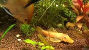 "Aquarien mit Ancistrus sp. ""Gold"" (Goldantennenwels)"